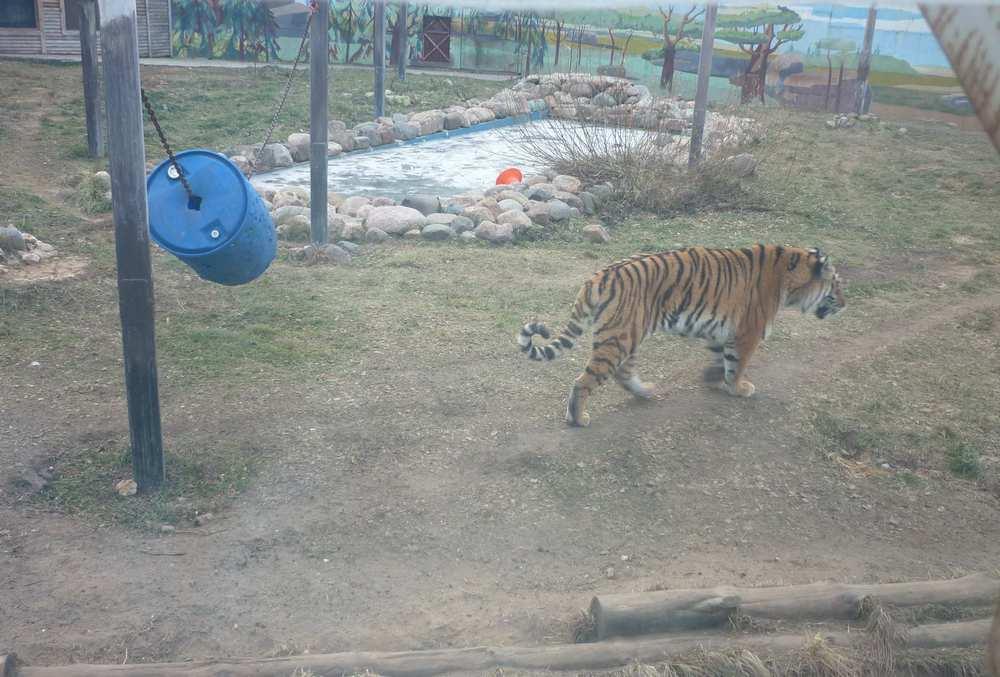 yaroslavl-zoopark-tigr