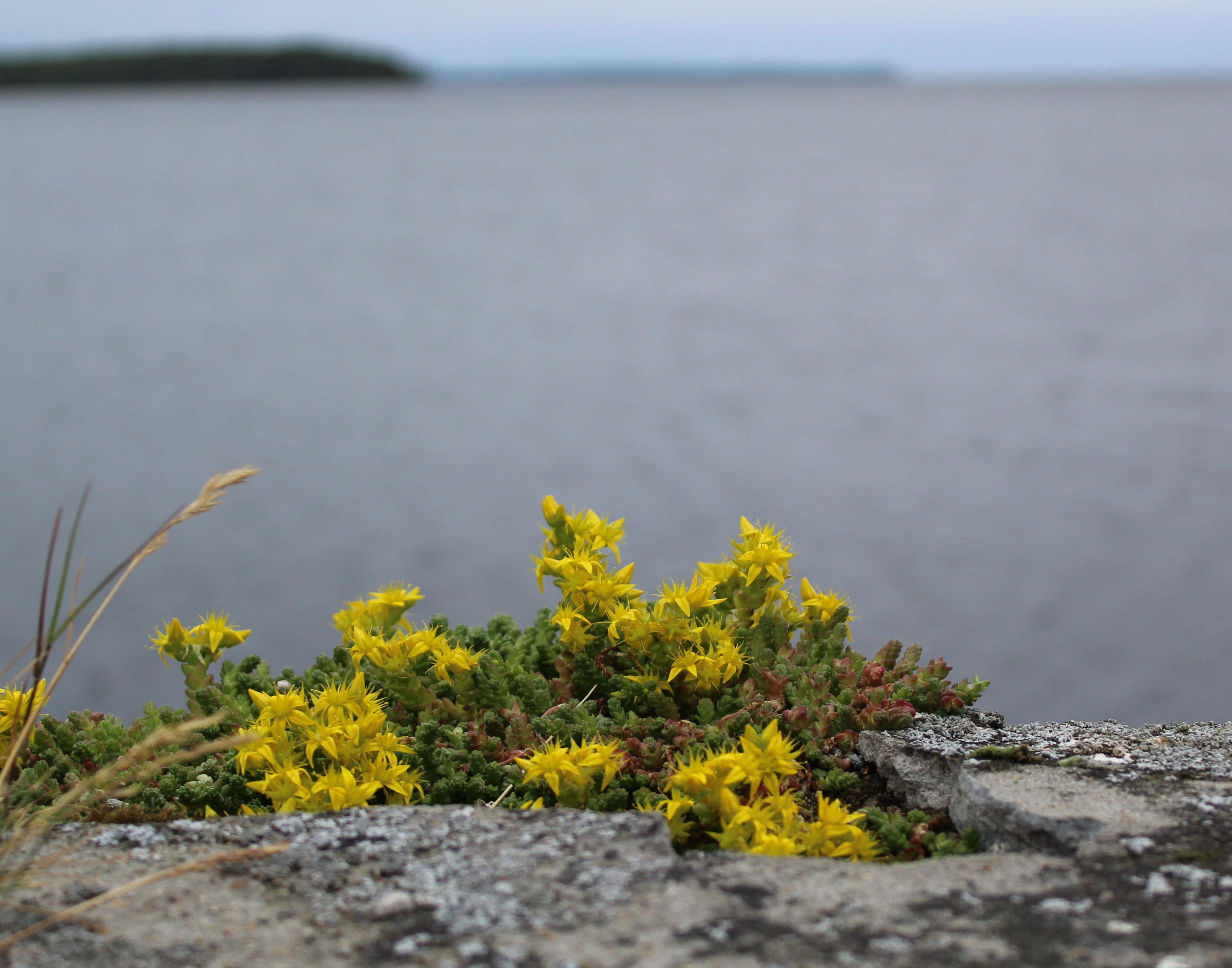 Северные цветочки