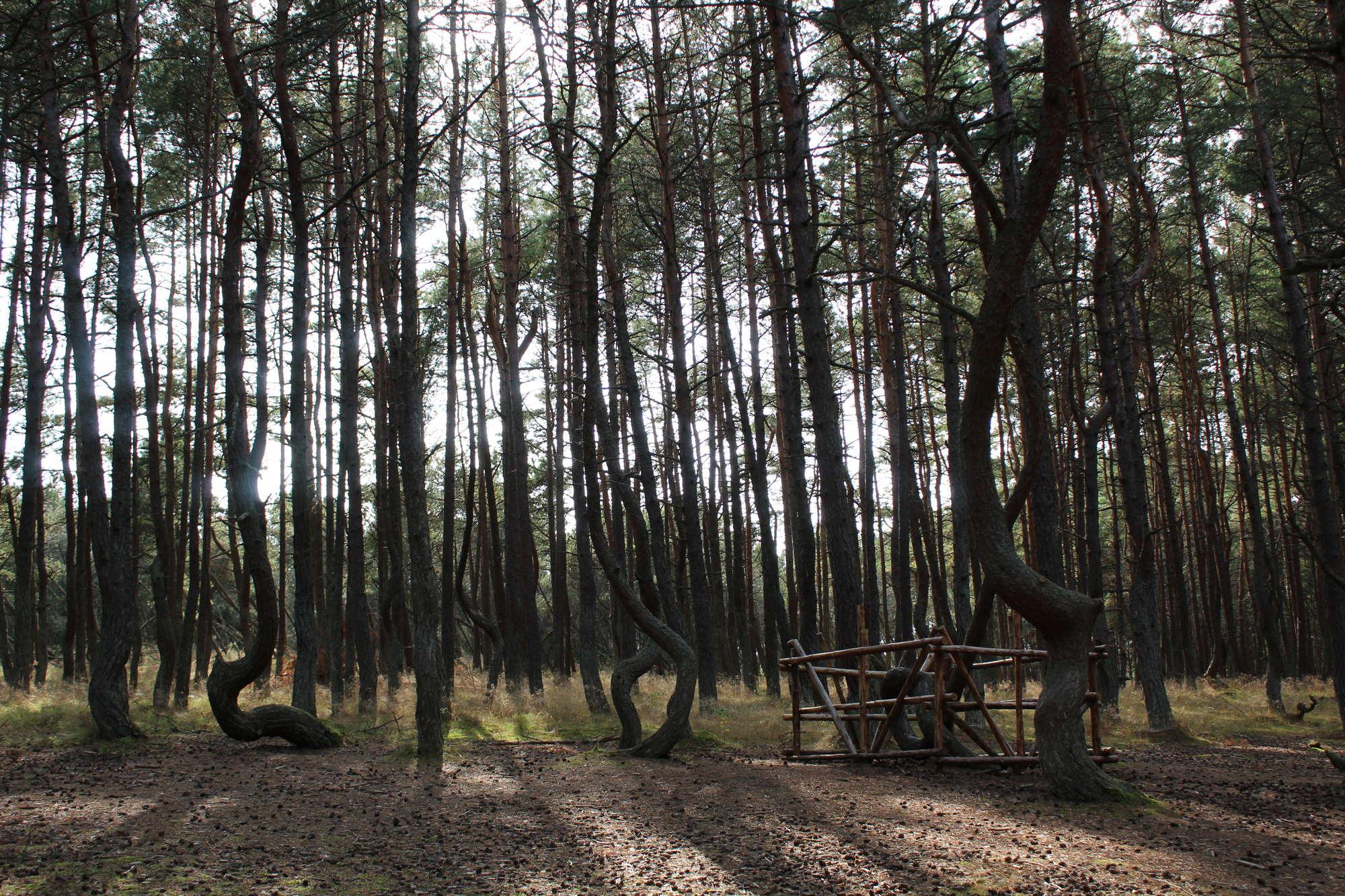 Танцующий лес (Куршская коса)